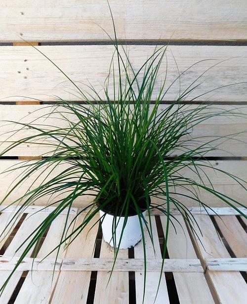 Carexgras