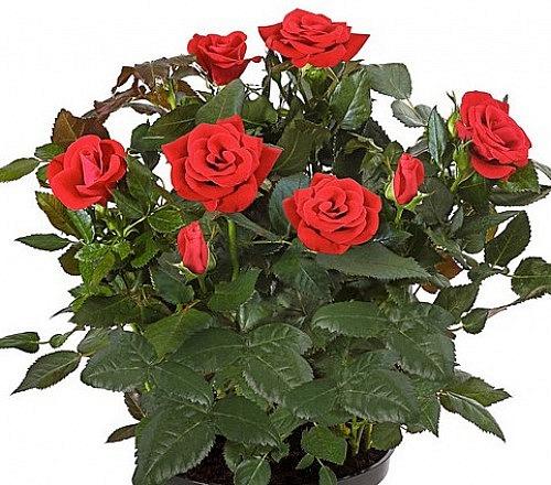 Rosen im Topf ver.Farben