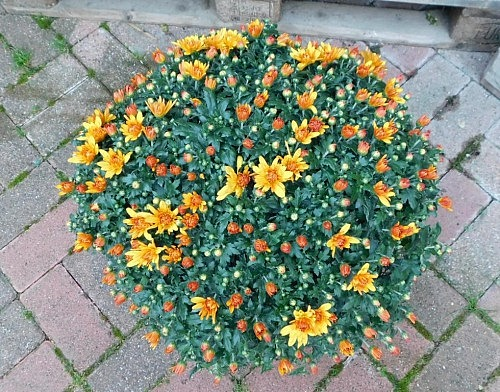 Chrysantheme Busch